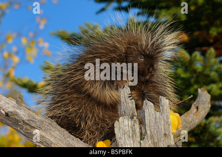 North American Porcupine holding on to a dead tree stump in an open forest in the Fall Erethizon Dorsatum Minnesota - Stock Photo
