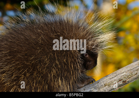 Close up of a Porcupine on a dead tree limb with yellow forest in Autumn Erethizon Dorsatum Minnesota USA - Stock Photo