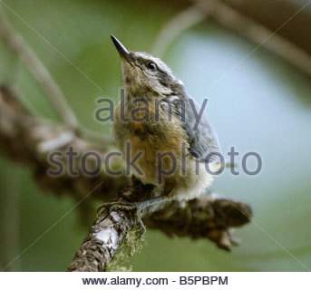 Red-breasted Nuthatch Sitta canadensis perched branch - Stock Photo