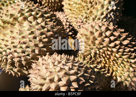 Durian fruit on sale in London's Chinatown - Stock Photo