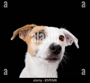 Jack Russell dog close up - Stock Photo