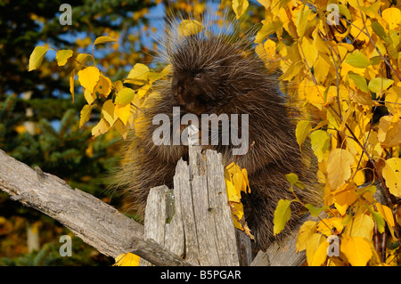 North American Porcupine climbing a dead tree with yellow Birch leaves and evergreens in Autumn Erethizon Dorsatum - Stock Photo