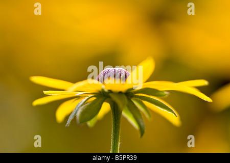 Rudbeckia Fulgida Dreamii - Stock Photo