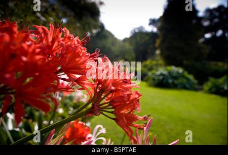 nerine sarniensis - Stock Photo