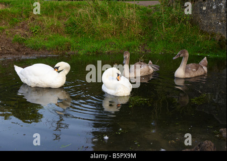 Swans with signets - Stock Photo