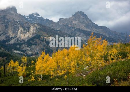Aspen trees golden with fall color, near Taggart Lake, Teton Mountains, Grand Teton National Park, Wyoming, USA - Stock Photo
