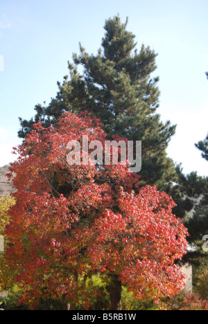 Autumn coloured leaves on a Terebinth Pistacia terebinthus also called turpentine tree A cypress tree in the background - Stock Photo