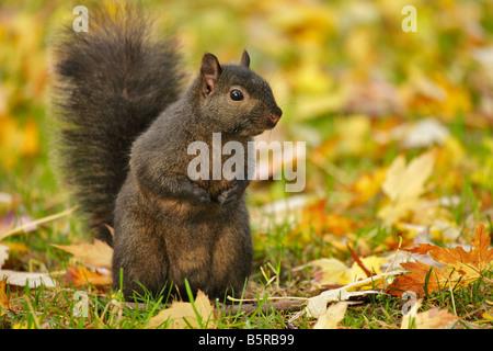 Black squirrel sub species of grey squirrel in leaves in fall Victoria British Columbia Canada - Stock Photo