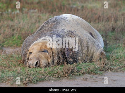 Massive sleeping Grey Seal Bull. Halichoerus grypus. Only a mother could love him! - Stock Photo