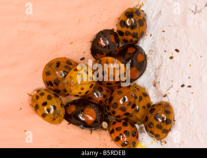Cluster of Harlequin Ladybirds Harmonia axyridis in winter corner of bedroom Hampshire - Stock Photo