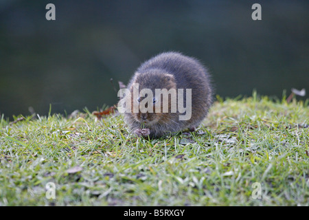 Water Vole Arvicola terrestris single adult feeding on river bank Taken February West Sussex UK - Stock Photo