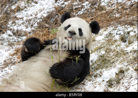 Giant panda Ailuropoda melanoleuca lying on snow to feed on bamboo Wolong Sichuan China - Stock Photo