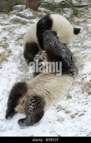 Giant panda Ailuropoda melanoleuca cubs playing on snow Wolong Sichuan China - Stock Photo