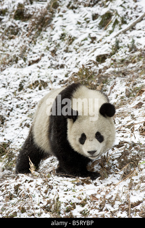 Giant panda Ailuropoda melanoleuca walking on snow covered path Wolong Sichuan China - Stock Photo