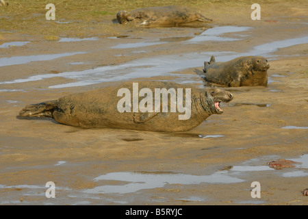 Grey Seal Halichoerus grypus single adult male showing aggession Taken November North Lincolnshire UK - Stock Photo