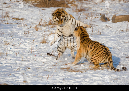 Amur of Siberian tigers Panthera tigris altaica sparring in winter in Heilongjiang China - Stock Photo