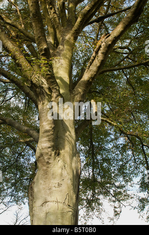 View looking up a large beech tree in autumn - Stock Photo