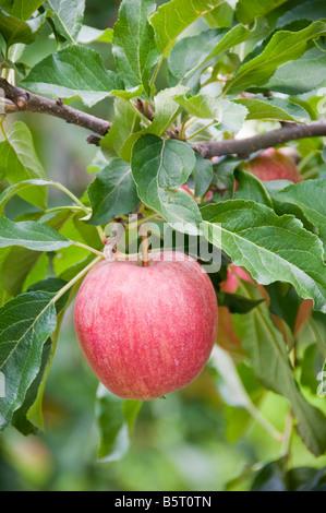 Apple on a tree - Stock Photo