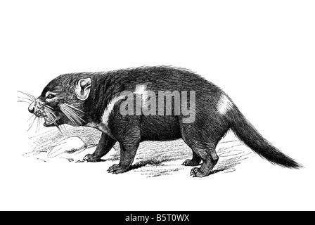 Tasmanian Devil Sarcophilus harrisii the devil carnivorous marsupial - Stock Photo