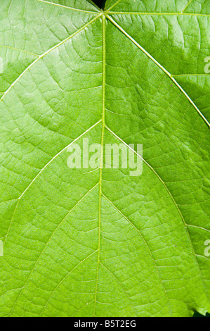 Green leaf, close-up. - Stock Photo