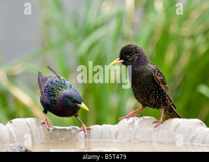 Two European Starlings, Sturnus vulgaris, bathing and drinking from a bird bath. Oklahoma, USA. - Stock Photo