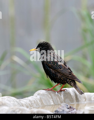 'European Starling' Sturnus vulgaris, wet and standing on the edge of a bird bath in Oklahoma, USA. - Stock Photo