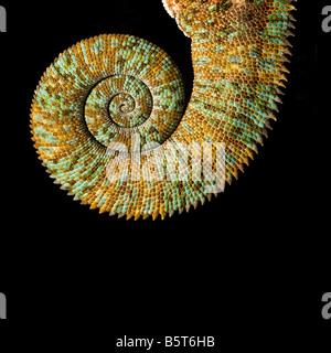 Male veiled or Yemen chameleon Chamaeleo catytratus coiled tail - Stock Photo