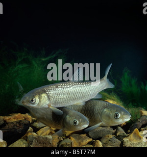 Chinese grass carp or white amur ctenopharyngodon idella for White amur fish