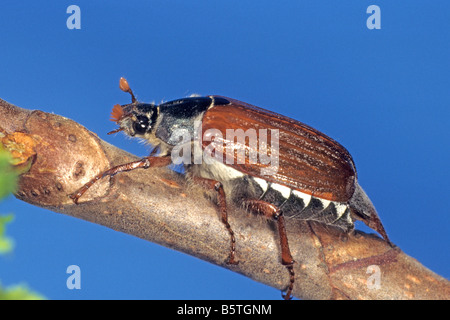 Common Cockchafer, Maybug (Melolontha melolontha), male on twig - Stock Photo