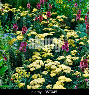 A flowering border of Achillea Moonshine with Purple verbascum - Stock Photo