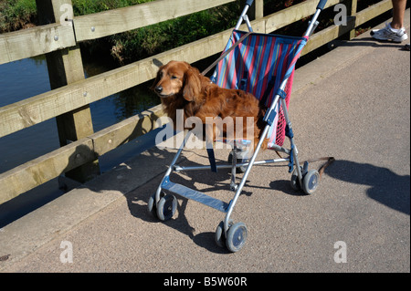Poodle dog sitting in childs push chair - Stock Photo