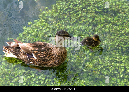 Mallard female and duckling swim in a trout stream in the village of Bibury Gloucestershire England - Stock Photo