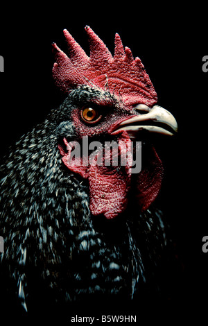 Portrait of a cockerel on a black background - Stock Photo