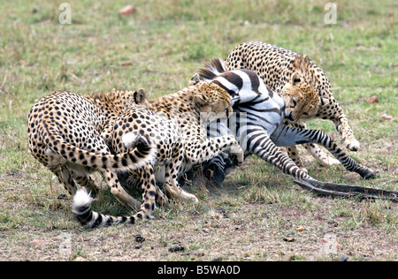 three cheetah kill young zebra - Stock Photo