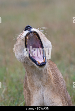 Old lioness yawning in rain - Stock Photo