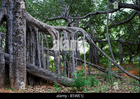 Ficus Benghalensis. Thimmamma Marrimanu banyan tree, Near Kadiri, Andhra Pradesh, India. South india's largest banyan - Stock Photo