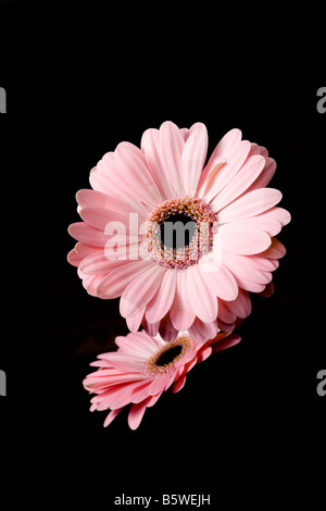 Close up of two pink gerberas isolated against black background - Stock Photo