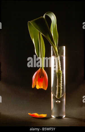 Wilted Flower, Dying Red Tulip drooping in Glass Vase against Black Background - Stock Photo