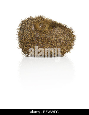 A curled up Hedgehog - Stock Photo