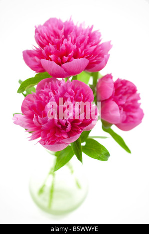 Cerise Pink Peony Flowers in Glass Vase - Stock Photo