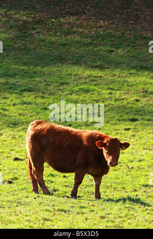 South Devon heifer young red cow standing alone in sunlit field on private farmland South Devon England - Stock Photo