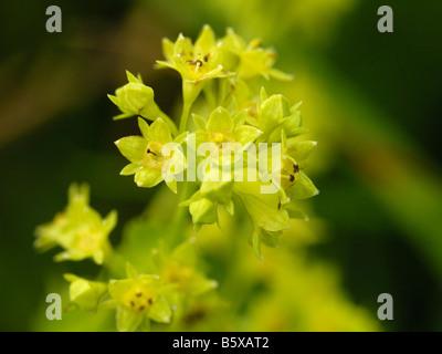 Smooth Lady's mantle, alchemilla glabra - Stock Photo