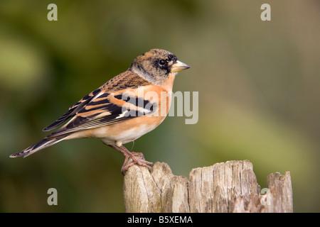 brambling Fringilla montifringilla male - Stock Photo