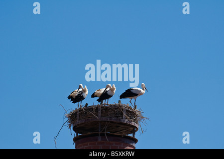 Jouvenile White Storks - Ciconia ciconia - and nest on Chimney in Auerbach, Oberpfalz, Bavaria, Germany - Stock Photo
