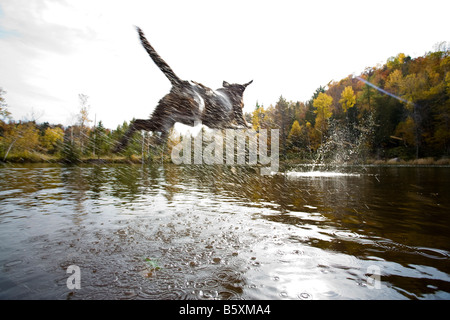 chocolate labrador dogs jumping off a wooden dock into a freshwater lake with an autumnal coloured mountain in the - Stock Photo