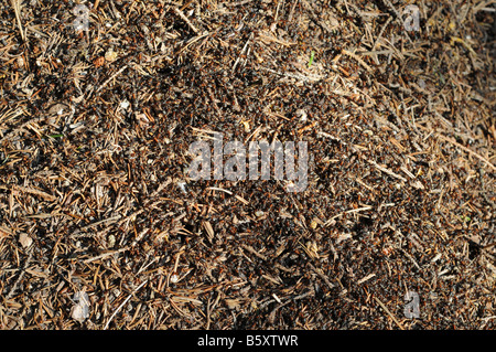 A lot of wood ants - Formica rufa L. - on an anthill.