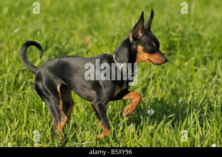 'Prague Ratter' / 'Pra ský Krysarík' One of the smallest dog breeds worldwide originating from the Czech Republic, - Stock Photo