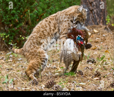 A bobcat with a pheasant as prey - controlled conditions - Stock Photo