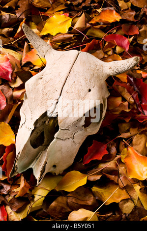 Cow skull in the autumn leaves - Stock Photo