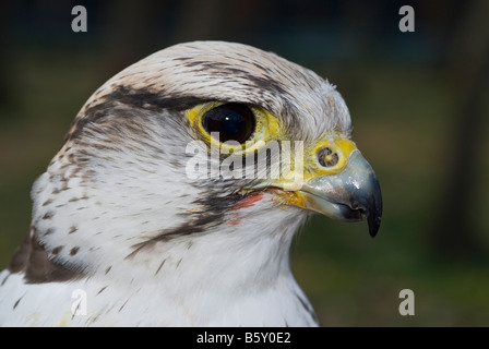 Bird hybrid Gyrfalcon Falco rusticolus and Lanner Falcon Falco biarmicus - Stock Photo